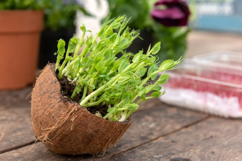 Micro groen van erwten royalty-vrije stock afbeelding