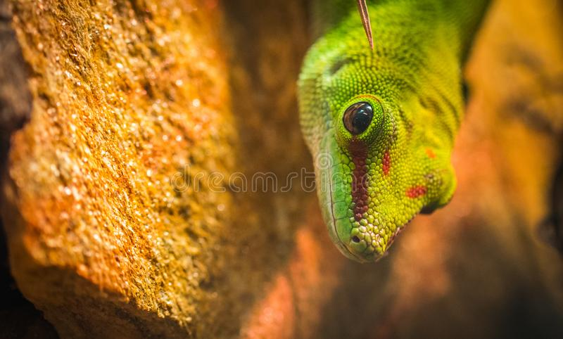 Micro Photography of a Gecko stock images