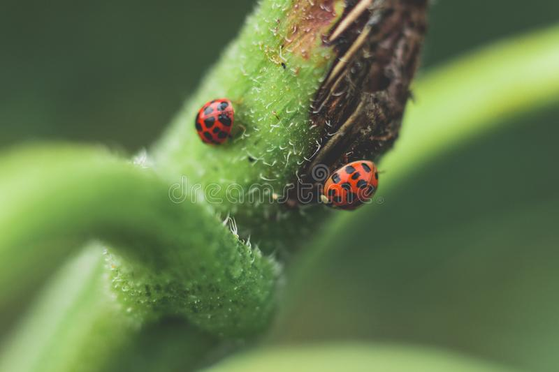 Micro Photography of Two Red-and-black Ladybugs royalty free stock image