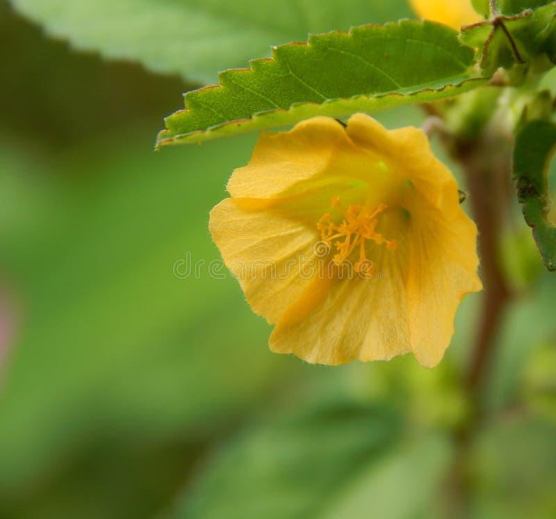 Micro punto di vista di un fiore della foglia del velluto o di un papavero cornuto giallo immagini stock