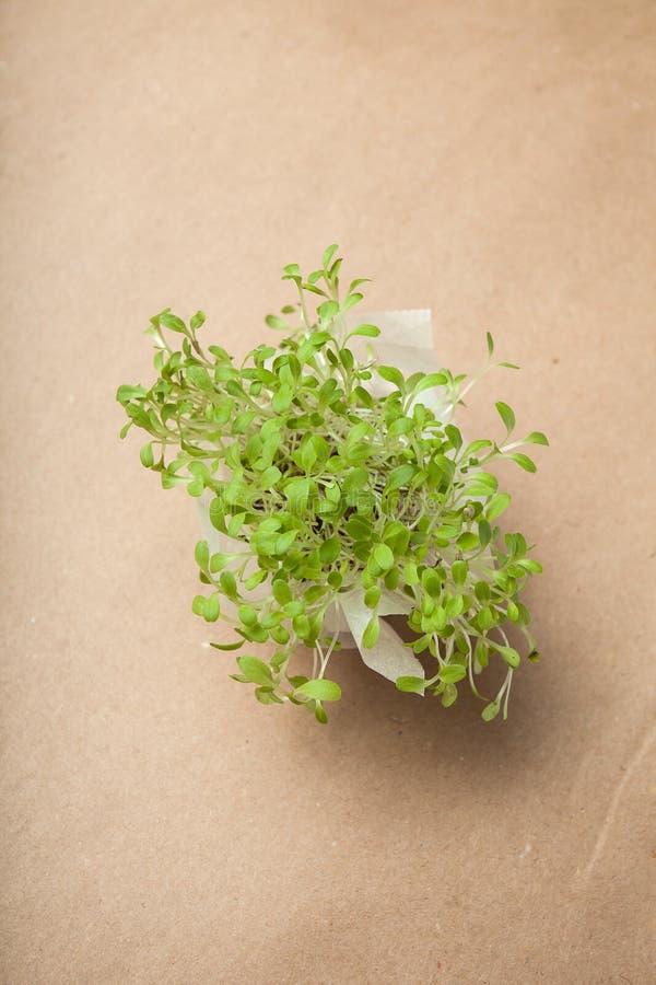 Micro-verdes cada vez mayor frescos cosechados en un manojo Producto antiesfuerzo fotografía de archivo