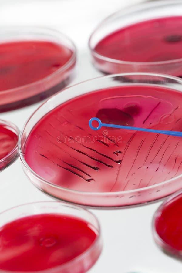 MICROBIOLOGIA DI INOCULAZIONE immagine stock