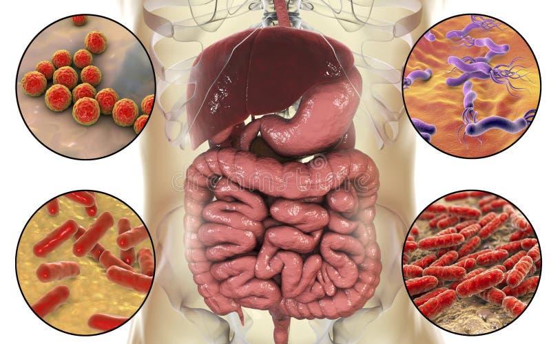 Microbiome intestinal, bactéries colonisant différentes pièces d'appareil digestif illustration stock