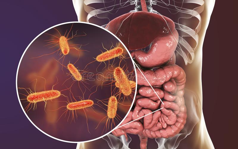 Microbiome intestinal, Escherichia coli illustration libre de droits
