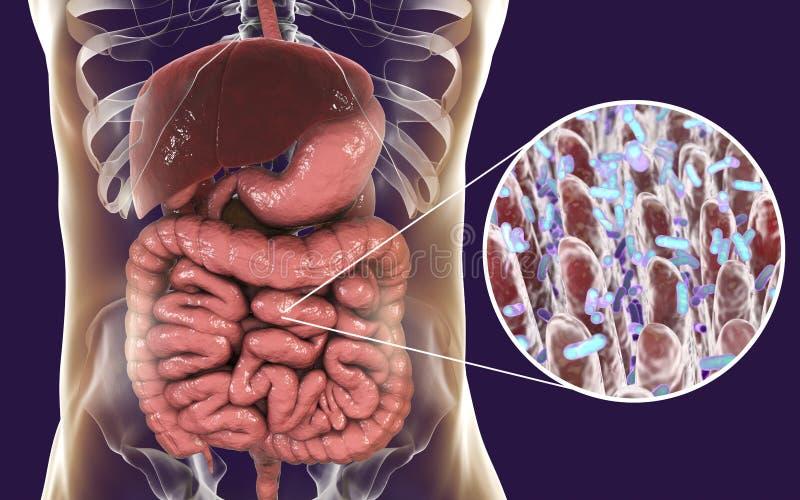 Microbiome intestinal, opinión del primer de vellosidades intestinales y bacterias entéricas ilustración del vector