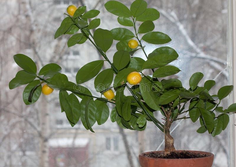 MicrocarpaÑŽ frutífero de Citrofortunella do kalamodin fotos de stock royalty free