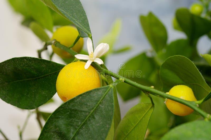 Microcarpa floreciente y que da fruto simultáneo de Citrofortunella imagen de archivo libre de regalías