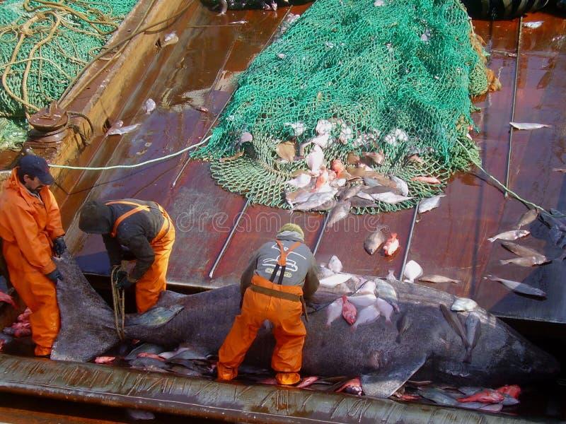 Microcephalus Somniosus акулы Гренландии -уловил нижним траулером в североатлантических водах стоковые изображения