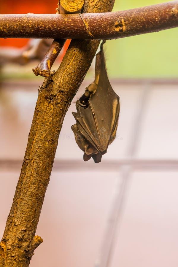 Microchiroptera van de knuppel dierlijke Latijnse naam hangt op de houten tak Middernachtschepsel met echolocationcapaciteit en v royalty-vrije stock foto