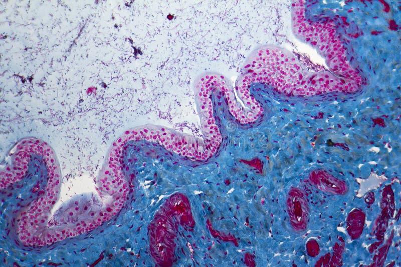 Micrográfo de la vejiga urinaria foto de archivo libre de regalías
