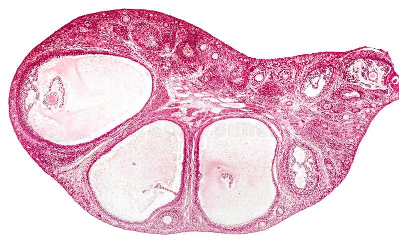 Micrográfo ligero del ovario fotos de archivo libres de regalías