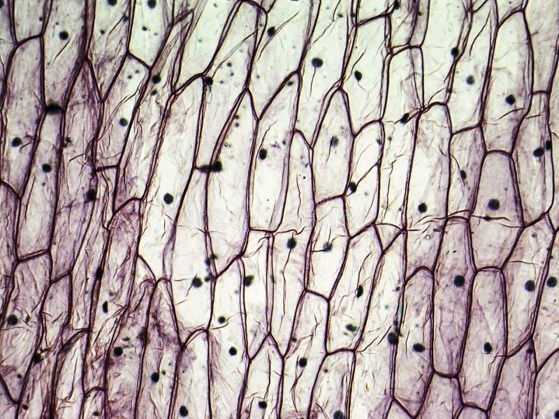 Micrografia de pilhas epidérmicas da cebola fotografia de stock royalty free