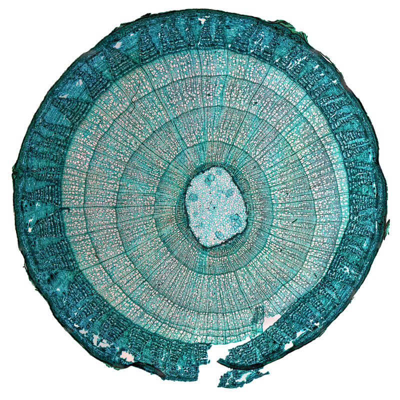 Micrografo del gambo di tilia fotografia stock