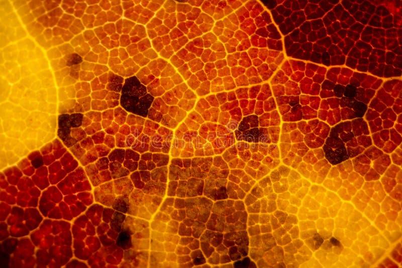 Micrograph av en röd lönnlöv i nedgången fotografering för bildbyråer