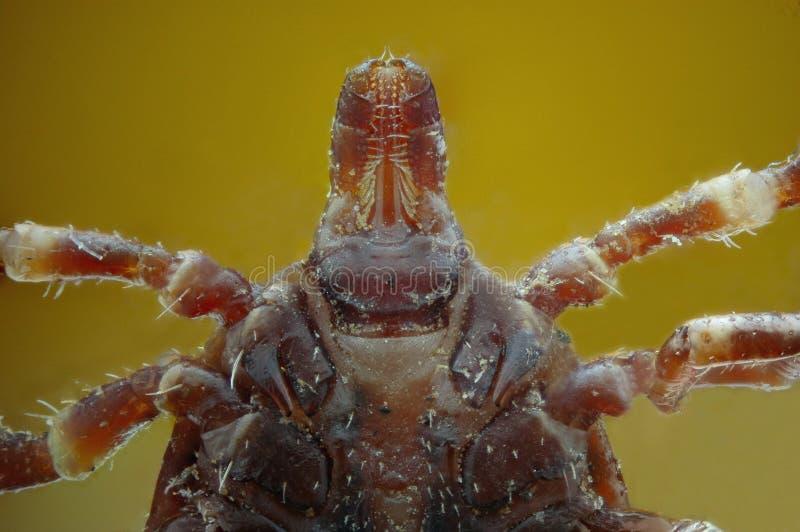 Micrograph av huvudet av en fästing fotografering för bildbyråer