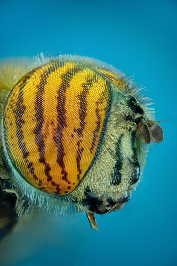 Micrograph av huvudet av en klipsk tiger arkivbild