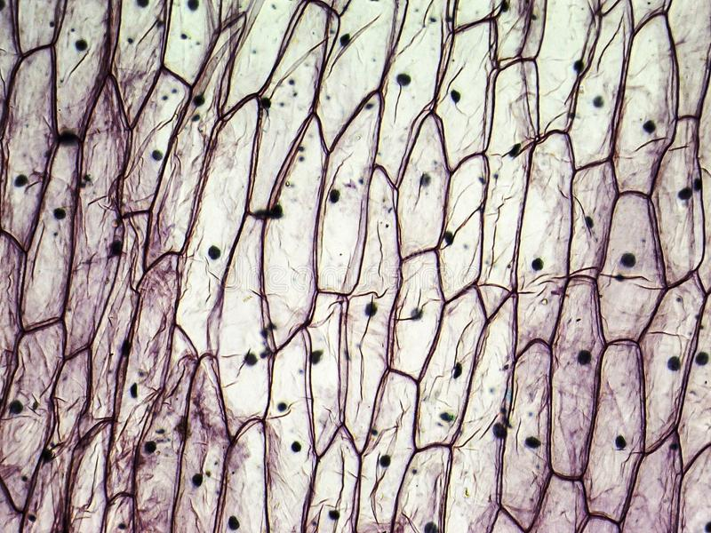 Micrograph of onion epidermal cells. Light microscopy. Magnification X50 royalty free stock photography