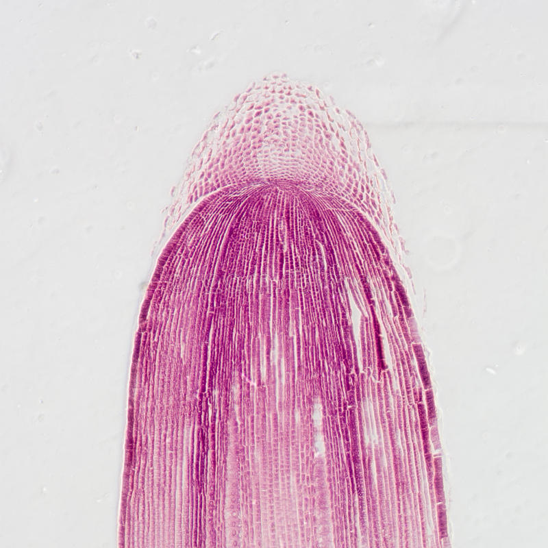 Micrograph plant root tip tissue royalty free stock photo