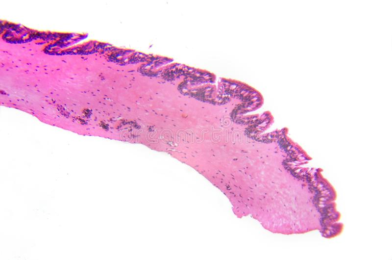 micrography Cilliated ephitelium blaszka Transwersalna sekcja fotografia stock