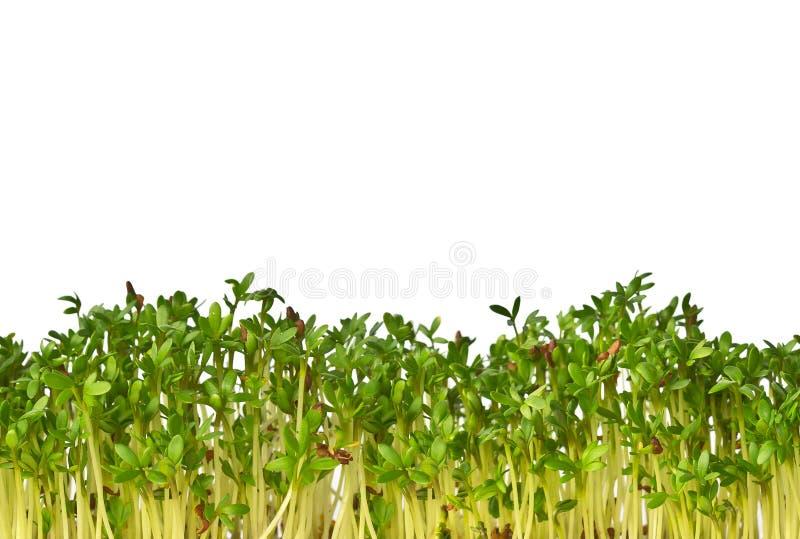 Microgreen Cress Salad op witte achtergrond wordt geïsoleerd die Naadloze horizontale foto van groen Exemplaarruimte voor tekst royalty-vrije stock fotografie