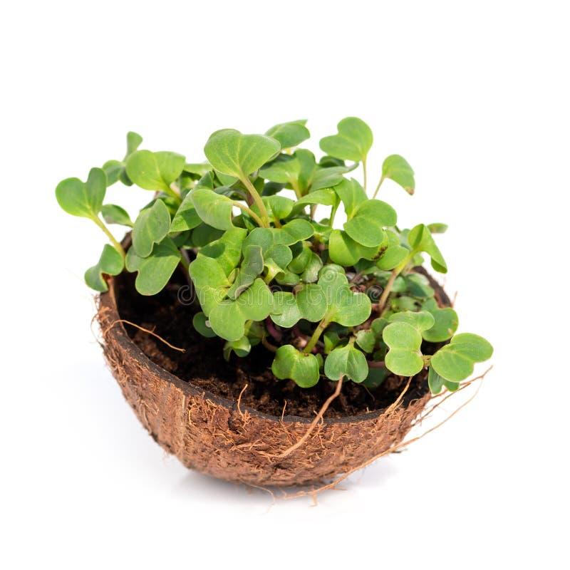Microgreen germoglia i germogli crudi, concetto sano del cibo in noce di cocco fotografie stock