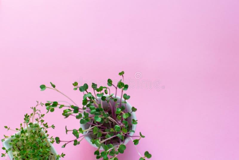 Microgreen kress, rosa rädisagroddar på rosa bakgrund, lägger framlänges, den bästa sikten, kopieringsutrymme fotografering för bildbyråer