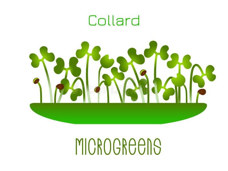 Microgreens散叶甘兰 在碗的新芽 植物的发芽种子 维生素补充,素食主义者食物 向量例证