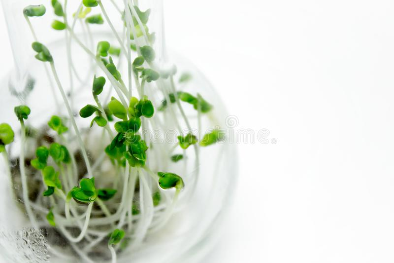 Microgreens в стеклянной склянке стоковые фотографии rf