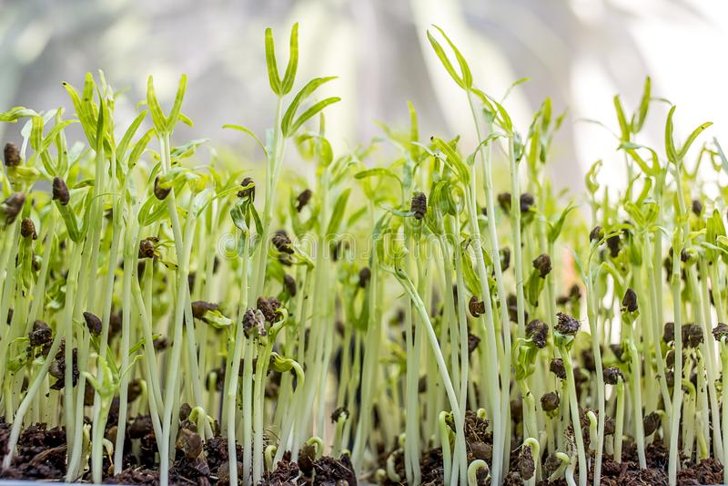 Microgreens crescentes foto de stock royalty free