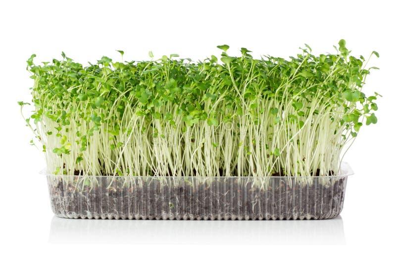 Microgreens crescentes fotografia de stock royalty free