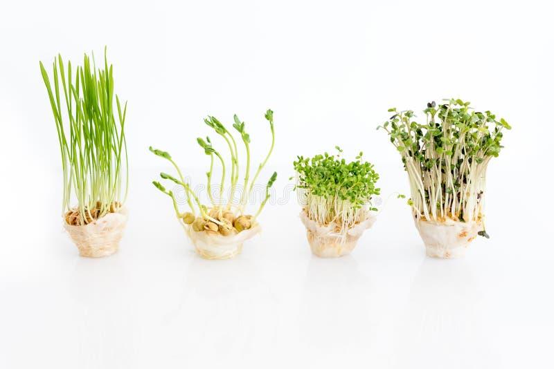 Microgreens crescentes no fundo branco com espaço livre para o texto Conceito saudável comer do produto fresco do jardim fotografia de stock