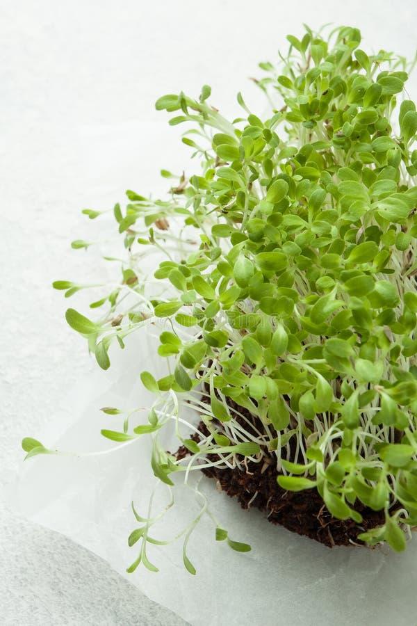 Microgreens crescentes orgânicos no fundo branco Conceito saudável comer fotografia de stock royalty free