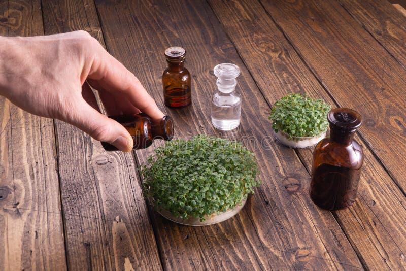 Microgreens de riego en fondo de madera rústico Microgreens en envase redondo y los frascos de cristal en la tabla de madera foto de archivo libre de regalías