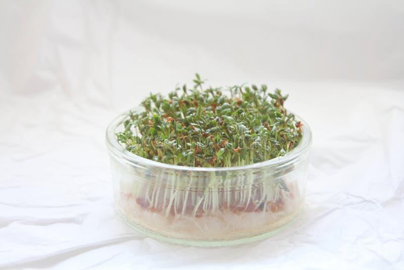 Microgreens do agrião de jardim fotografia de stock royalty free