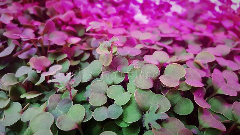 Microgreens in grow lights. Cabbage kale broccoli micro greens growing in led light indoors on urban farm royalty free stock image