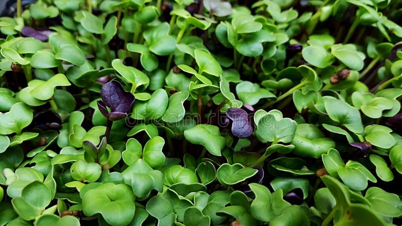 Microgreens in grow lights. Cabbage kale broccoli micro greens growing in led light indoors on urban farm stock photo