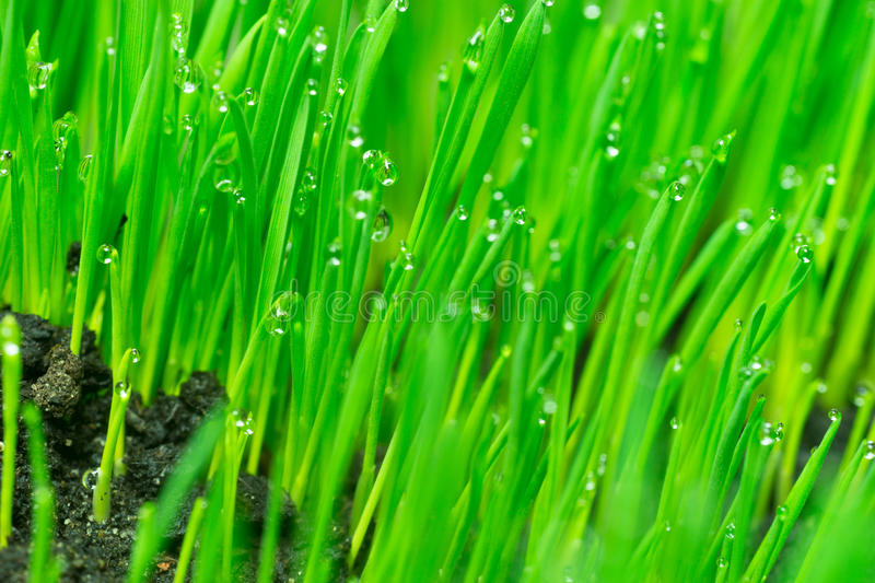 Microgreens Growing Panoramic Dew on Wheatgrass Blades. Wheatgrass passes water from root to stem blade tip overnight stock image