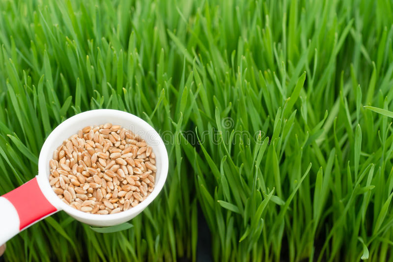 Microgreens Growing Panoramic Wheatgrass Blades Scoop Red Wheat. A scoop of wheat berries left are needed to grow wheatgrass right stock photos