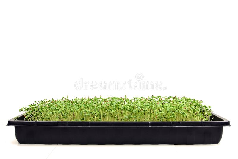 Microgreens growing tray stock photos