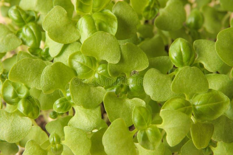 Microgreens jovenes de la albahaca con dos cotiledones y los primeros pares de hojas verdaderas imagen de archivo libre de regalías