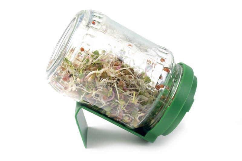 Microgreens que crece en un tarro fotografía de archivo