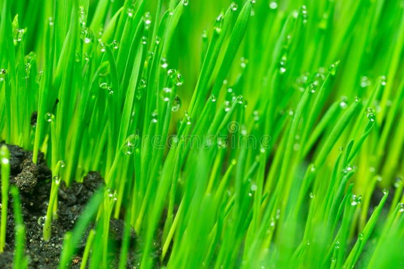 Microgreens que cresce o orvalho panorâmico nas lâminas de Wheatgrass imagem de stock