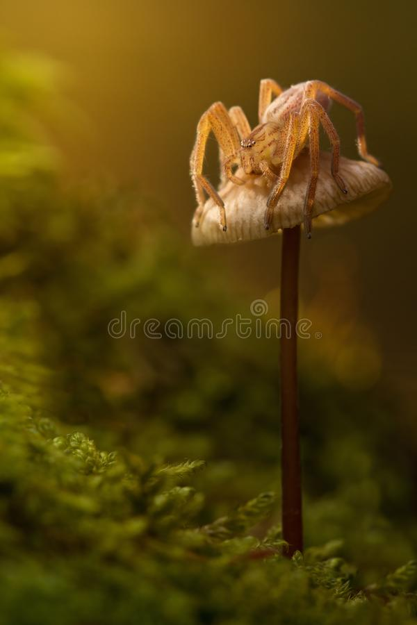 Micrommata virescens蜘蛛本质上在棕色蘑菇的 惊人的神仙的不可思议的快活的艺术性的图象 动物wildli庄严场面  免版税库存图片