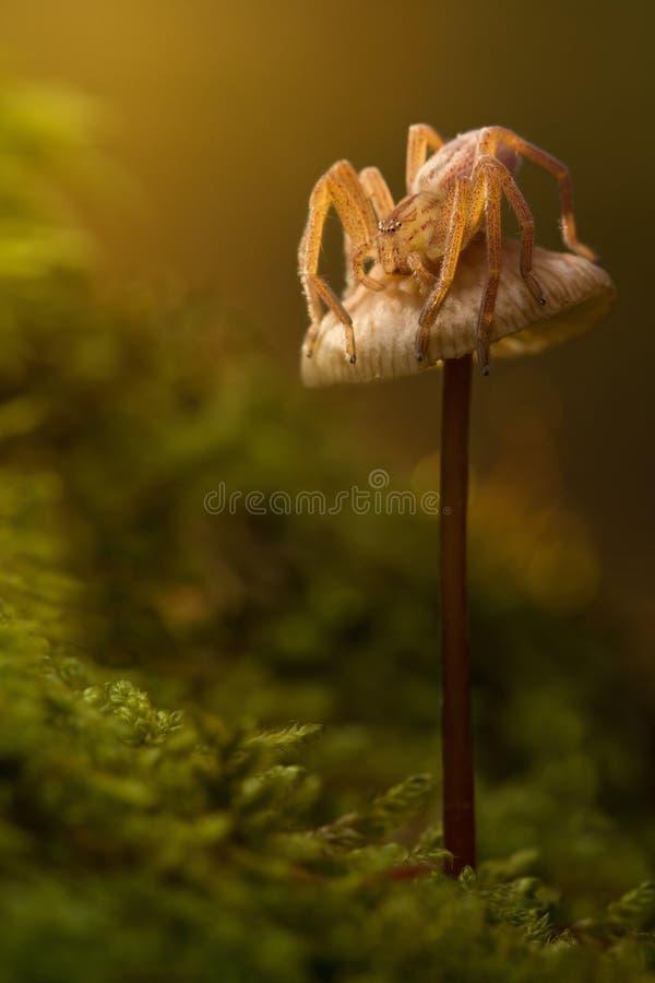 Micrommata-virescens Spinne in der Natur auf braunem Pilz Erstaunliches feenhaftes magisches fröhliches künstlerisches Bild Majes lizenzfreies stockbild