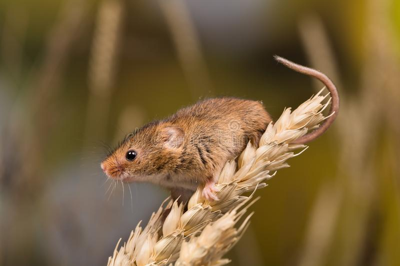 Brown harvest Mouse royalty free stock images