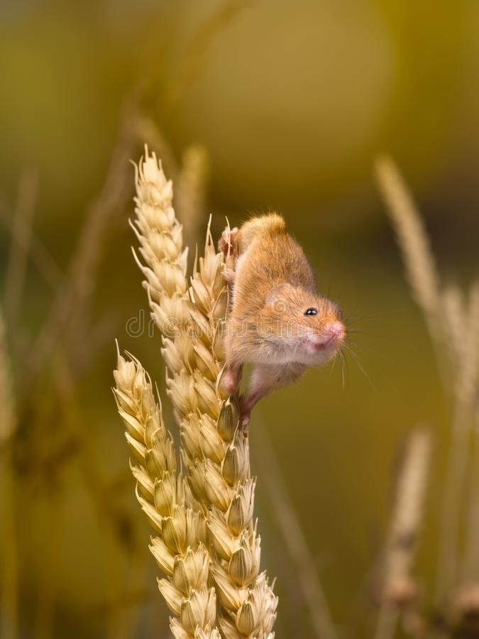 Climbing Harvest Mouse stock images
