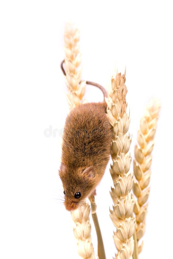 Isolated Harvest Mouse royalty free stock images