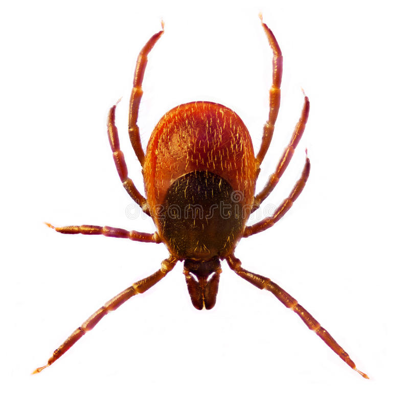 Microphoto of a Tick Ixodes Ricinus stock image
