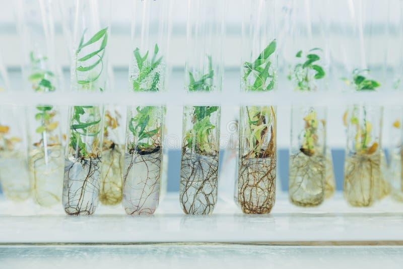 Microplants van gekloonde wilgen Salix in reageerbuizen met voedend middel Micropropagationtechnologie in vitro royalty-vrije stock foto's