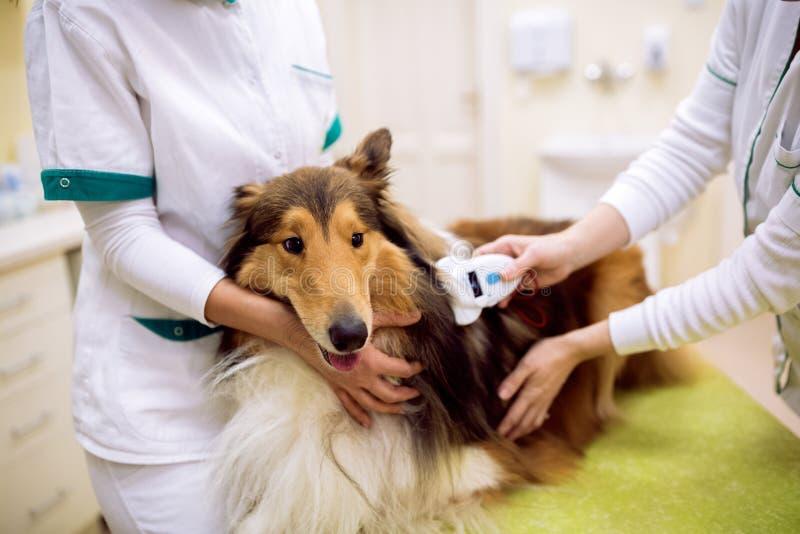 Microplaqueta veterinária da verificação na informação do pescoço e da leitura do ` s do cão fotos de stock royalty free